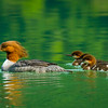 Common Mergansers, Chilkoot Lake, Alaska