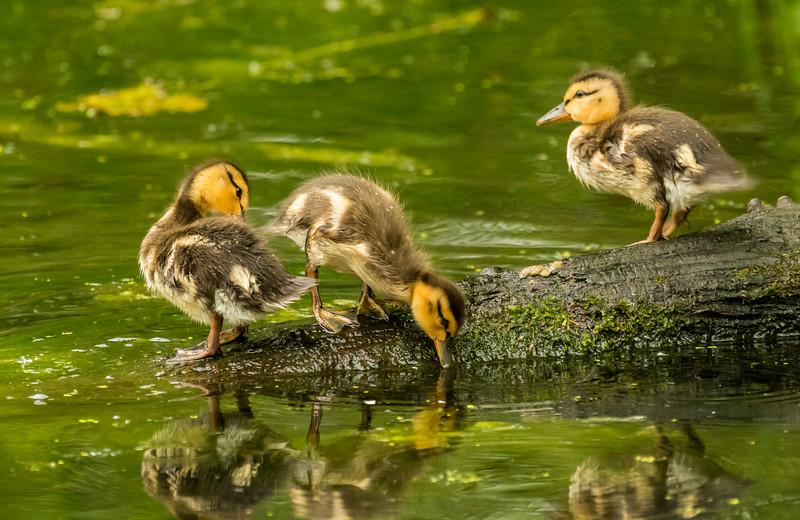 Mallard Ducklings on log