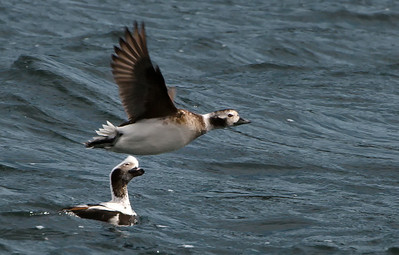 Female Long-tailed Duck flying; male in the water, girl-watching