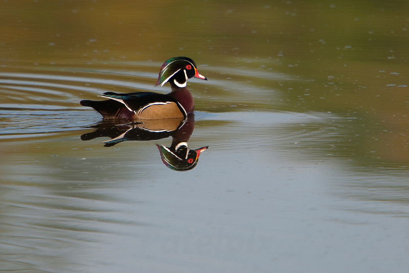 Wood duck (male)<br /> The Celery Farm<br /> Allendale<br /> New Jersey