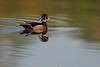 Wood duck (male)<br /> The Celery Farm<br /> Allendale<br /> New Jersey