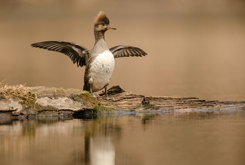 ADK-13-240: Female Hooded Merganser wingstretch