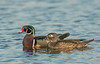 Courting Wood Ducks