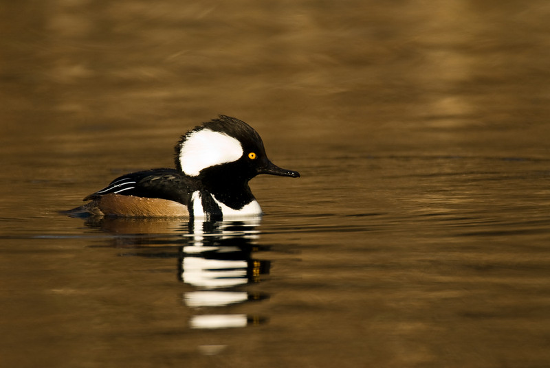 ADK-8135: Male Hooded Merganser (Lophodytes cucullatus)