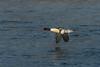 Drake Common Merganser along the Mississippi