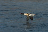 Drake Common Merganser along the Mississippi