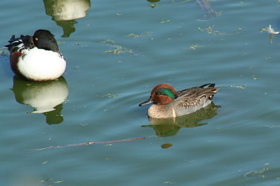 Northern Shoveler, Green-winged Teal