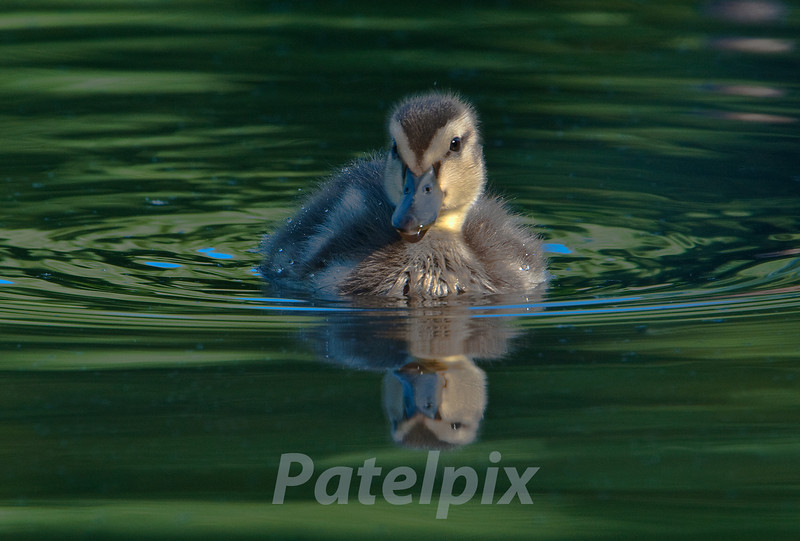 Mallard duckling<br /> The Celery Farm, Allendale<br /> New Jersey
