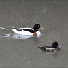 Common Shelduck and Tufted Duck
