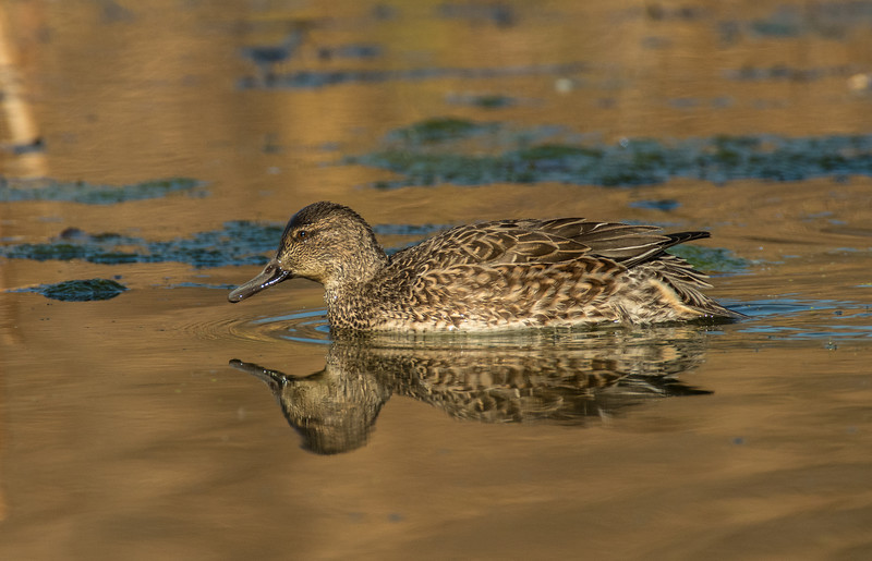 Female Green-winged Teal