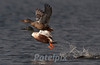 A pair of northern shovelers at liftoff<br /> The Celery Farm<br /> Allendale<br /> New Jersey, 2010