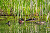 A Wood Duck's Harem