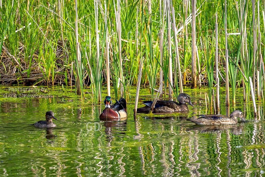 A Wood Duck's Harem