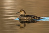 Hen Hooded Merganser