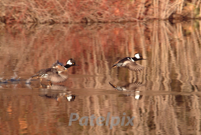 Hooded merganzers taking off<br /> The Celery Farm<br /> Allendale, New Jersey