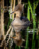 Mrs Hooded Merganser
