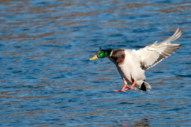 ADK-12090: Coming in for landing (Anas platyrhynchos)