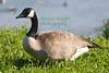 Goose8892(8x12)