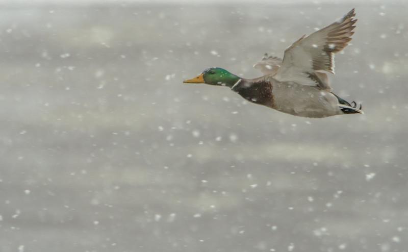 Mallard in snow storm