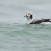 Long-tailed Duck, Oshawa, ON