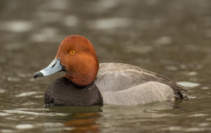 Drake Redhead