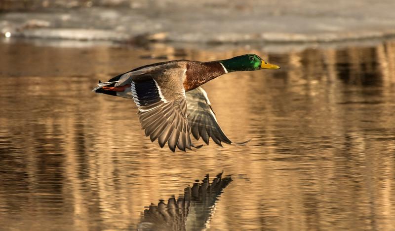Mallard flying along the Mississippi