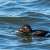 White-winged Scoter, Presqu'ile Provincial Park, ON