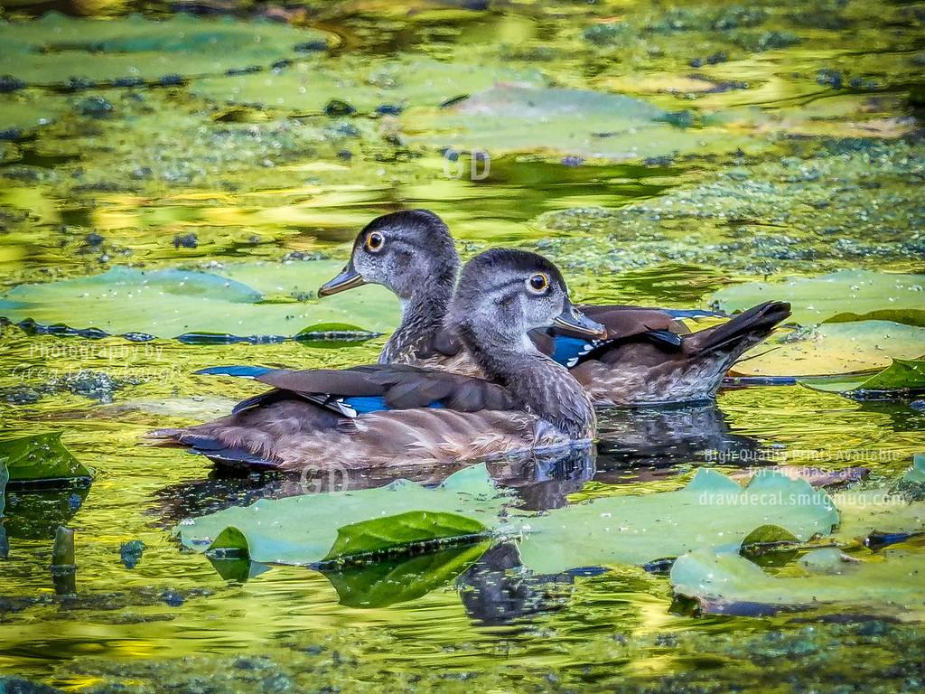 Wood Duck Juveniles