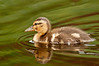 ADK-12568: Duckling and reflection