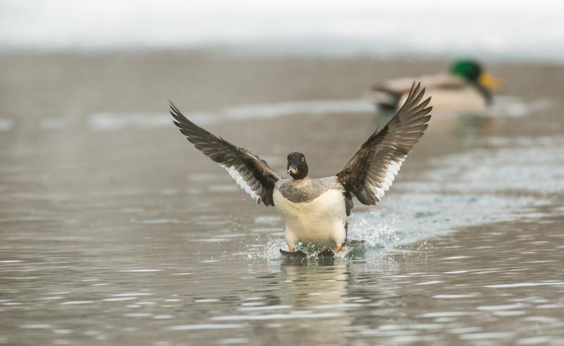 Female Common Goldeneye landing