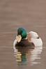 ADK-11061: Spring Mallard (Anas Platyrhynchos)