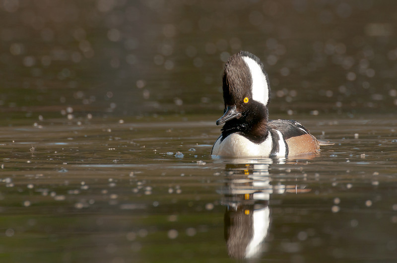 ADK-12333: Drake Hooded Merganser