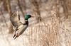 Drake Mallard taking flight