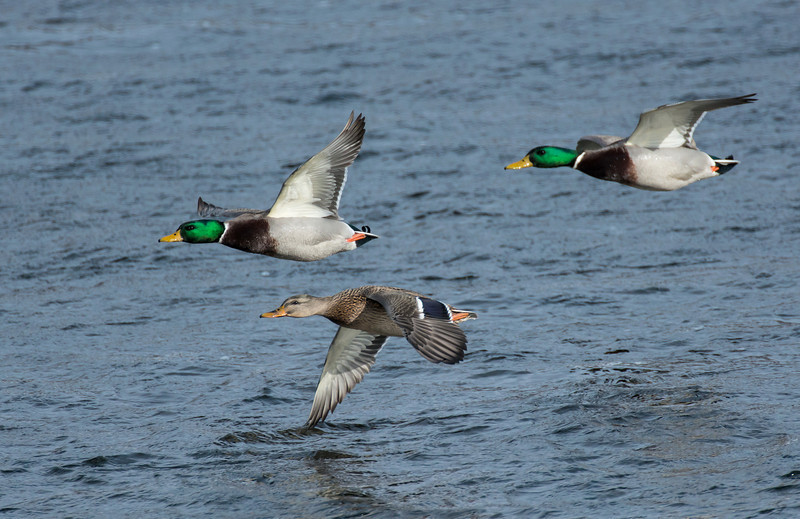 Mallards along the Mississippi River