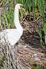 Swans0385