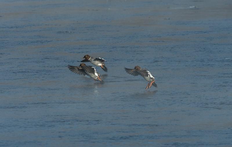 Female Goldeneyes hitting the landing