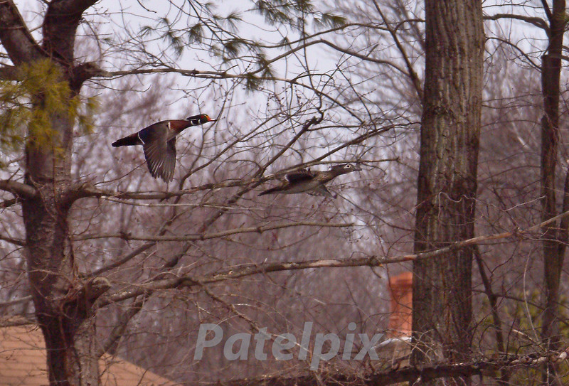 A pair of wood ducks in flight<br /> The Celery Farm, Allendale<br /> New Jersey