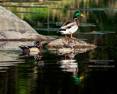 Ducks in Minnesota