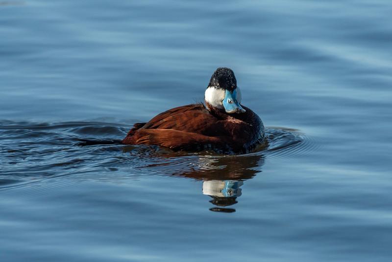 Drake Ruddy Duck