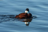 Drake Ruddy Duck