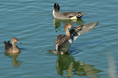 Female Northern Pintail wing display