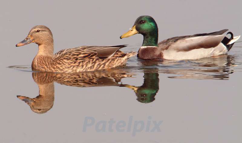 """Co-itus""  ---  literally, a journey together<br /> A pair of mallard ducks<br /> The Celery Farm<br /> Allendale<br /> New Jersey"