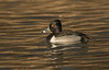 Wintering Drake Ring-necked duck