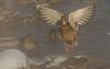 Hen taking flight