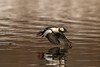 Drake Bufflehead taking flight