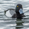 Lesser Scaup, Barcoven Beach, Carrying Place, ON