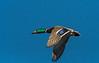 Blue sky Mallard