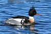 1365  Red-breasted Merganser, male,  on the icy Merrimack River in Newburyport, MA   (Feb 2017)