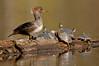 ADK-12384: Female Hoodie and Painted Turtles