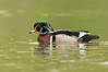 ADK-12480: Drake Wood Duck